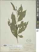 view Solanum leptorhachis Bitter digital asset number 1