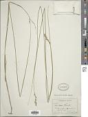 view Carex aenea Fernald digital asset number 1