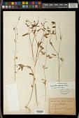 view Euphorbia graminea Jacq. digital asset number 1