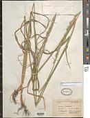 view Thinopyrum intermedium (Host) Barkworth & D.R. Dewey digital asset number 1