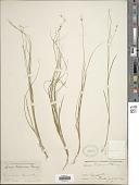 view Carex trisperma Dewey digital asset number 1