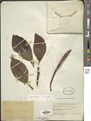 view Rhizophora mangle L. digital asset number 1