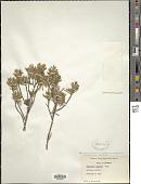 view Thymelaea tartonraira (L.) All. digital asset number 1