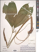 view Anthurium croatii Madison digital asset number 1
