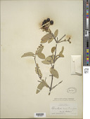 view Bunchosia montana A. Juss. digital asset number 1