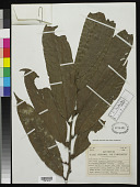 view Soyauxia grandifolia Gilg & Stapf digital asset number 1