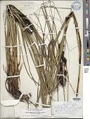 view Gahnia aspera subsp. globosa (H. Mann) J. Kern digital asset number 1
