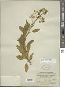view Solanum aureum Dunal digital asset number 1