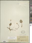 view Viola grahamii Benth. digital asset number 1