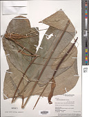 view Anthurium garagaranum Standl. digital asset number 1