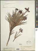 view Nivenia corymbosa (Ker Gawl.) Baker digital asset number 1