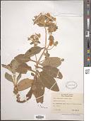 view Calceolaria lanata Kunth digital asset number 1