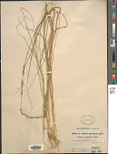 view Sporobolus elongatus Aiton digital asset number 1