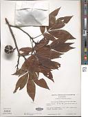 view Carya ovata subsp. carolinae-septentrionalis digital asset number 1