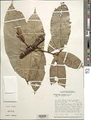 view Heterostemon ellipticus Benth. ex Mart. digital asset number 1