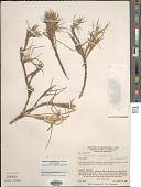 view Cenchrus clandestinus (Hochst. & Chiov.) Morrone digital asset number 1