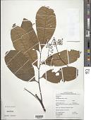view Trichilia surinamensis (Miq.) C. DC. digital asset number 1