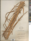 view Rottboellia cochinchinensis (Lour.) Clayton digital asset number 1