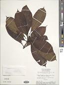 view Retiniphyllum martianum Müll. Arg. digital asset number 1