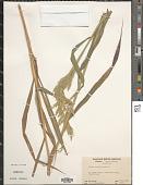 view Cinna arundinacea L. digital asset number 1