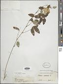 view Clitoria mariana L. digital asset number 1