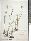 view Carex x grahamii Boott digital asset number 1