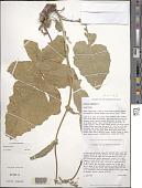 view Brassica rapa L. digital asset number 1