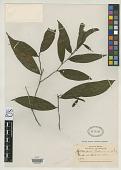 view Heteropsis boliviana Rusby digital asset number 1