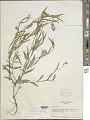 view Crotalaria sagittalis L. digital asset number 1