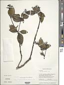 view Palicourea everardii (Wernham) Delprete & J.H. Kirkbr. digital asset number 1