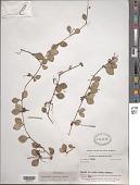 view Peperomia angulata Kunth digital asset number 1