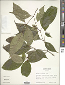 view Miconia lateriflora Cogn. digital asset number 1