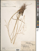 view Tatianyx arnacites (Trin.) Zuloaga & Soderstr. digital asset number 1