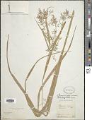 view Rhynchospora aristata Boeckeler digital asset number 1