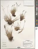 view Festuca baffinensis Polunin digital asset number 1