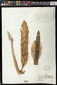 view Vriesea incurvata É. Morren digital asset number 1