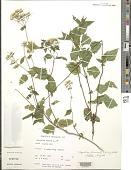 view Ageratina altissima (L.) R.M. King & H. Rob. digital asset number 1
