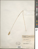 view Dactylis glomerata subsp. hispanica (Roth) Nyman digital asset number 1
