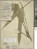 view Pseudosasa amabilis (McClure) Keng f. digital asset number 1