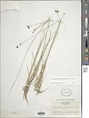 view Rhynchospora fascicularis (Michx.) Vahl digital asset number 1