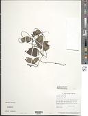 view Geophila cordifolia Miq. digital asset number 1