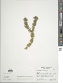 view Huperzia lucidula (Michx.) Trevis. digital asset number 1
