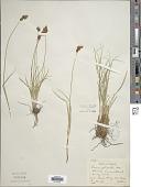 view Carex petasata Dewey digital asset number 1