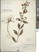 view Swertia bimaculata (Siebold & Zucc.) Hook. f. & Thomson ex C.B. Clarke digital asset number 1