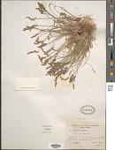 view Poa glauca subsp. rupicola (Nash) W.A. Weber digital asset number 1