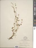view Ranunculus parviflorus L. digital asset number 1