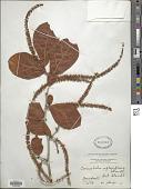 view Coccoloba reflexiflora Standl. digital asset number 1