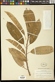 view Sapium glandulatum (Vell.) Pax digital asset number 1