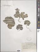 view Corydalis crassifolia Royle digital asset number 1