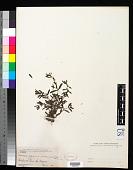 view Veronica peregrina var. xalapensis H.B.K. digital asset number 1
